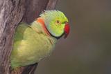 Rose-Ringed / Ring-Necked Parakeet in Tree