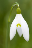 Snowdrop Close-Up Macro Image of a Single Flower
