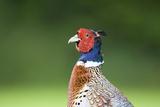 Pheasant Male