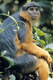 Red Colobus Monkey Female Sitting