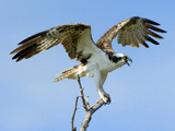 Osprey with Open Wings