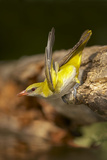 Golden Oriole Female Drinking from Forest Pool