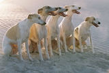 Whippets Group of Sandy Beach
