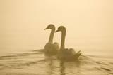 Mute Swans Pair Swimming in Pre-Dawn Mist