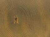 Cross Spider on Web