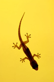 A Juvenile Common (Spiny-Tailed) House Gecko Hunts