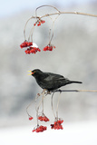 Blackbird Male Feeding on Guelder Rose Berries in Winter