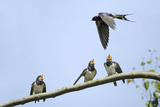 Swallow Young Birds  Begging for Food from Adult