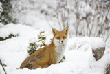 Fox in Garden Snow