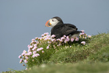 Puffin Sitting in Sea Thrift