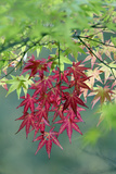 Japanese Maple Leaves Autumn
