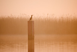 Cormorant on Post in Misty Sunrise with Reedbed Behind