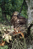 Honey Buzzard at Nest  with Chicks