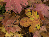 Fallen Highly-Coloured Leaves of Sycamore  Heavily