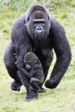 Gorilla Female Carrying Baby Animal