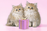 Chinchilla Kittens with Present