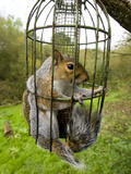 Grey Squirrel Trapped Inside a Squirrel Proof Bird Feeder Papier Photo