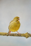 Green Fife Canary Front View Singing  Captive Bred