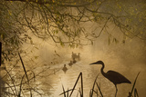 Heron Autumn Mist over Woodland Pond with Ducks