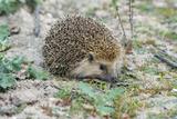 European Hedgehog Pale Morph  in Olive Grove
