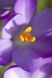 Crocus Macro Photograph of Flower