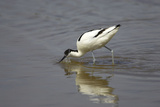 Pied Avocet Feeding