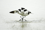 Pied Avocet 2 Birds Fighting over Territory