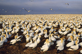 Cape Gannet Breeding Colony