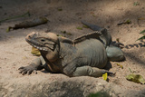 Rhinoceros  Rock Iguana