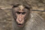 Rhesus Macaque Monkey Close-Up of Head