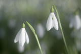 Snowdrops Growing Wild in Woodland