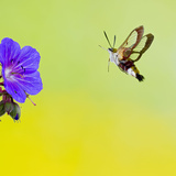 Broad-Bordered Bee Hawkmoth Approaching Flower