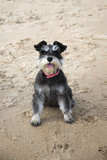 Mini Schnauzer Dog on Beach