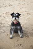 Mini Schnauzer Dog on Beach