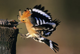 Hoopoe Bird Feeding Young in Flight