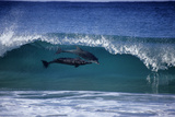 Two Bottlenose Dolphins Surfing in Breaking Wave