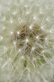 Dandelion Head with Seeds