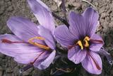Saffron Crocus Source of Saffron