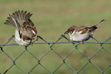 House Sparrows 2 Males Fighting on Garden Fence