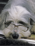 Bearded Collie Dog Lying Down Asleep Wearing Spectacles