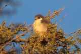 Pygmy Falcon Male in Early Morning Sun