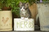 8 Week Old Kitten in Pot