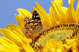 Butterfly  Painted Lady Feeding on Sunflower Head