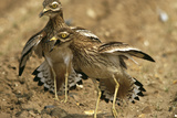 Stone-Curlews Aggressive Display with Wings Outstretched