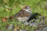 House Sparrow Male Bird Sitting on Ground