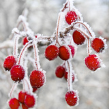 Frost Covered Red Hawthorn Berries