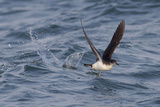 Manx Shearwater in Flight Running on the Sea
