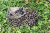 Hedgehog Young Animal Uncurling on Garden Lawn
