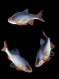 Red Shiner Fish 3 in Circle