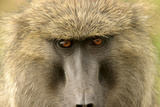 Olive Baboon Close-Up of Face